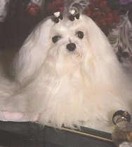 Mitzimist Maltese - Miss Molly