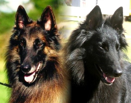 Moonshadow Belgian Shepherds