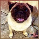 Pugs Love